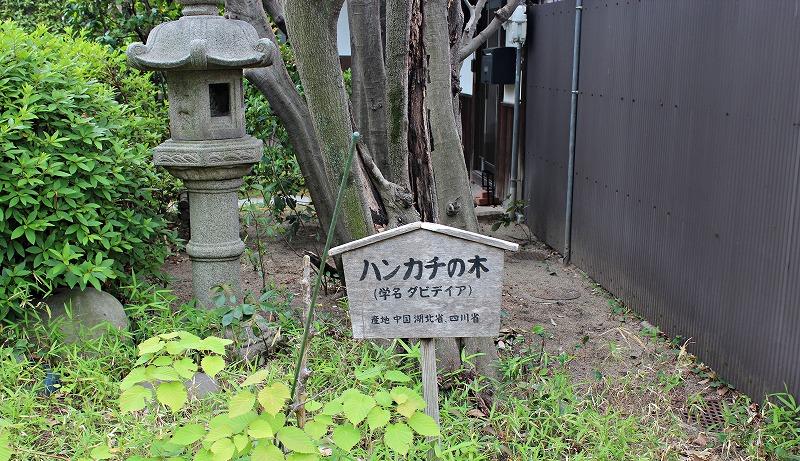 京都 長建寺 ハンカチの木