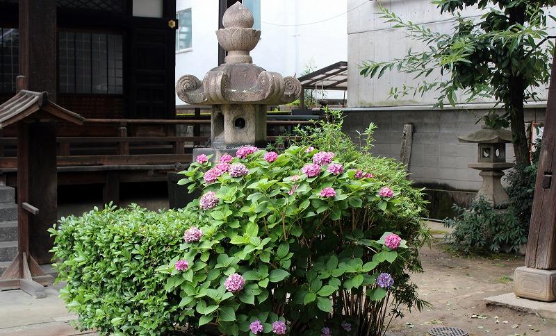 京都 本教寺 アジサイ