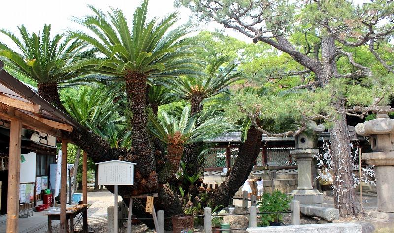 京都 御香宮神社 ソテツの木