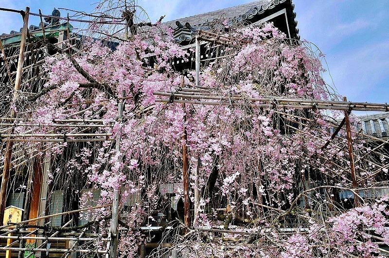 京都 佛光寺 紅しだれ桜