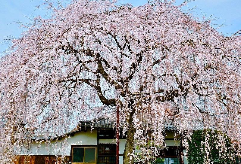 京都 本満寺 しだれ桜