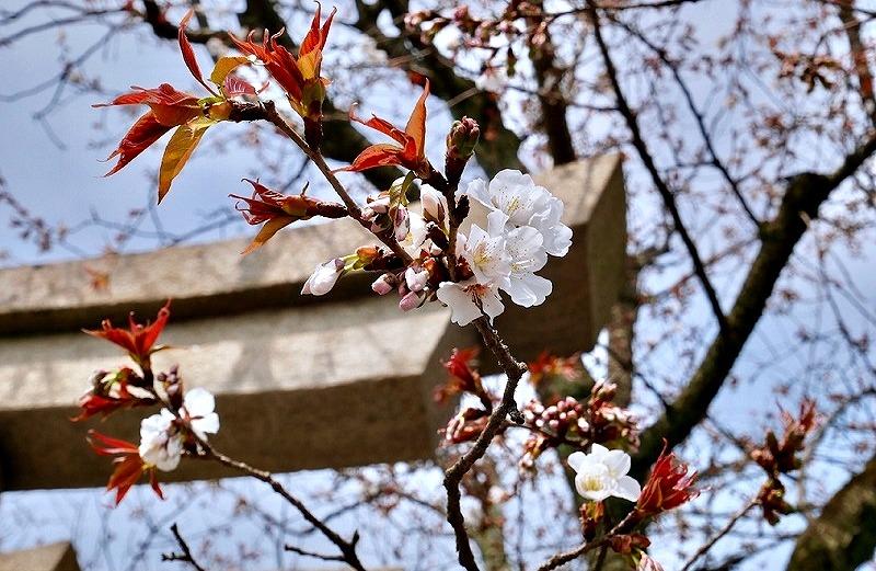 京都 本満寺 ヤマザクラ